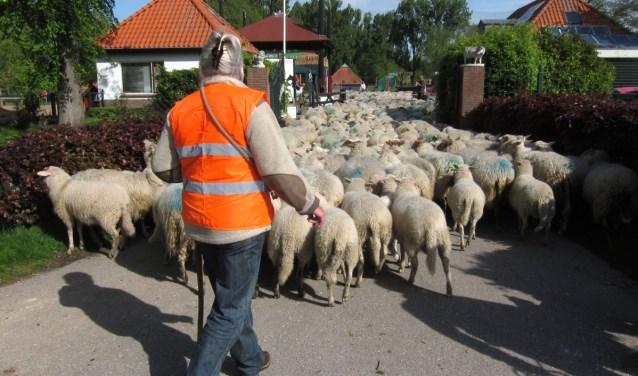 Schaapsherder brengt kudde schapen naar het Darwinpark.