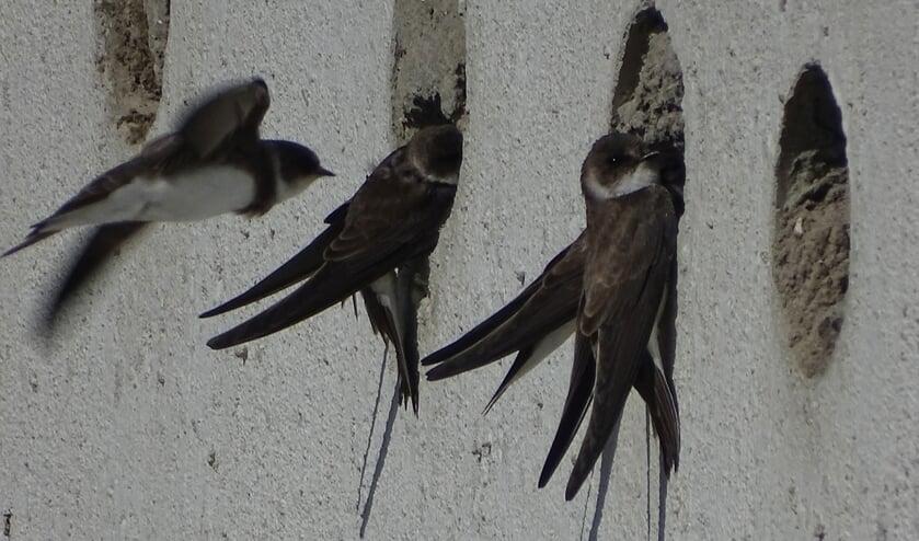 In de meer dan honderd uitgeholde nestgaten broedt al twee zomers een kolonie oeverzwaluwen.