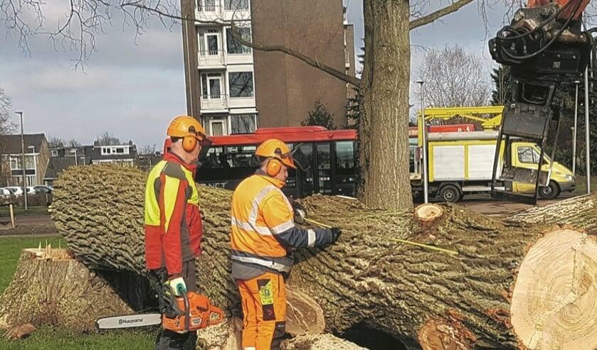 De bomen zijn besmet met de Iepenziekte en moeten daarom worden gekapt.