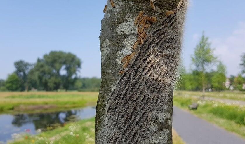 De boom waar de eikenprocessierups is waargenomen.
