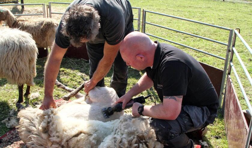 Het schaap wordt van haar dikke wol verlost.