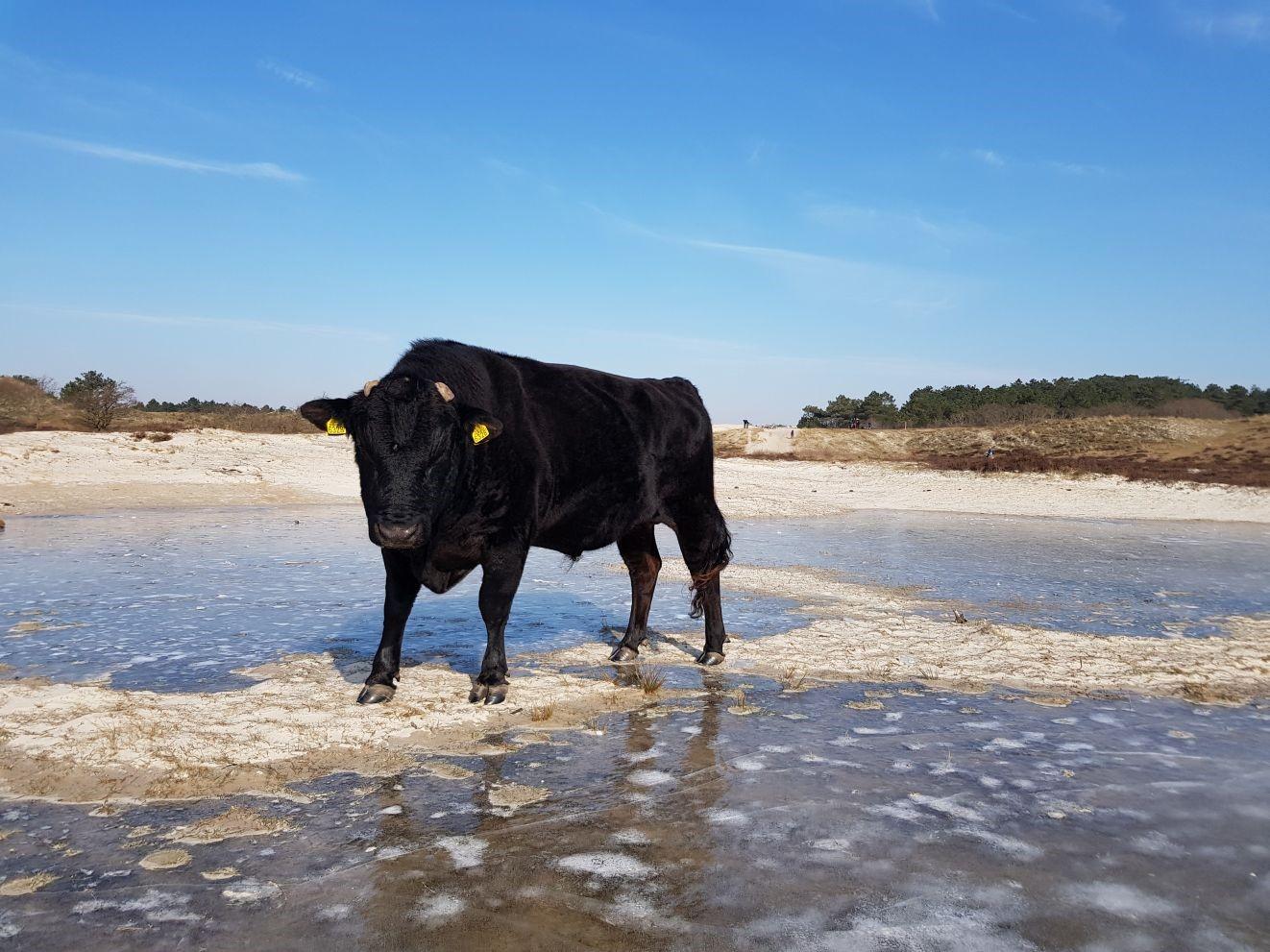 Koe op het Vogelmeer. (Foto: Daan Lautenschutz)