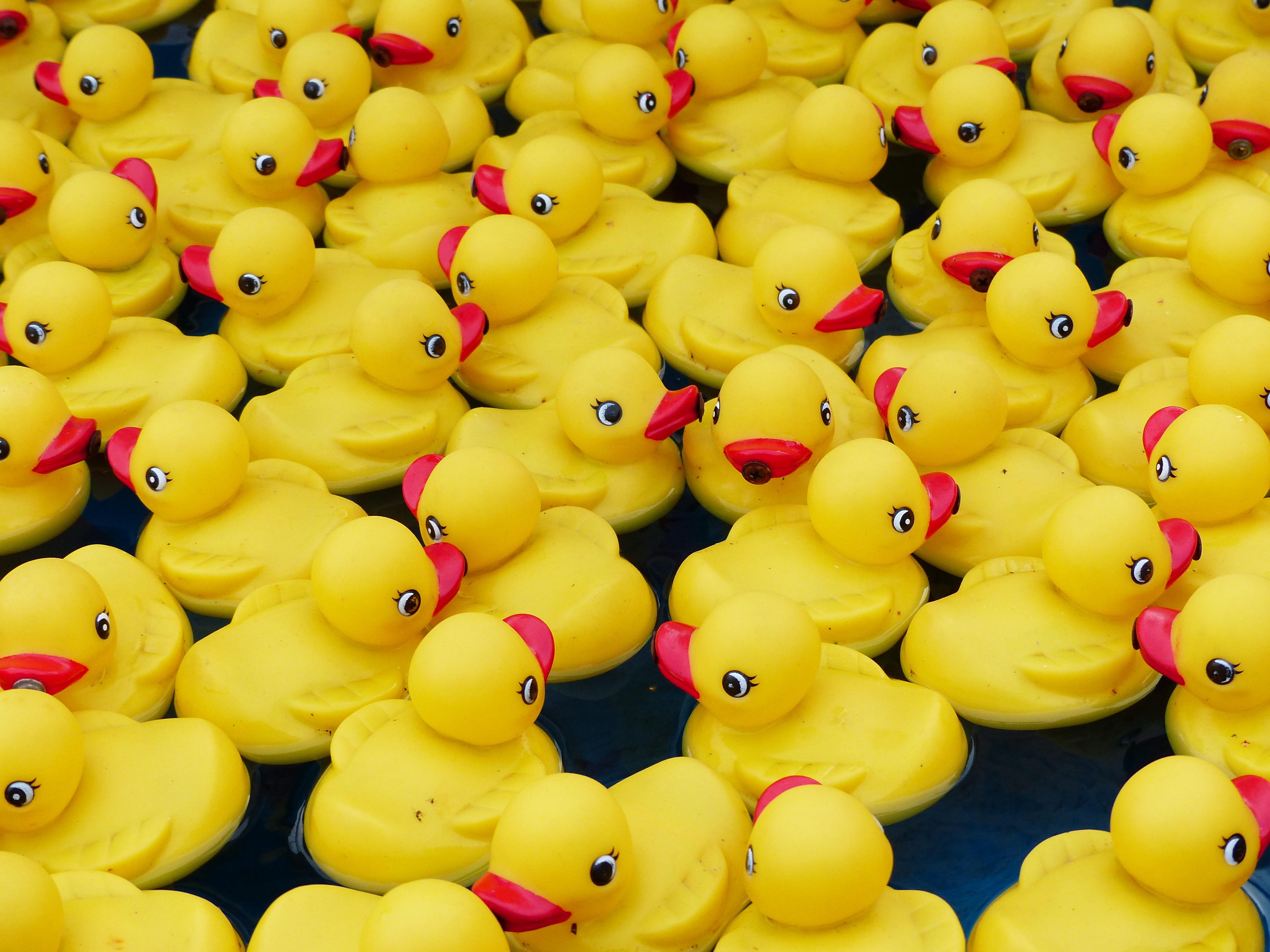 In Uitgeest organiseren de Rotaryclubs van Midden-Kennemerland een badeendjesrace. (foto aangeleverd)