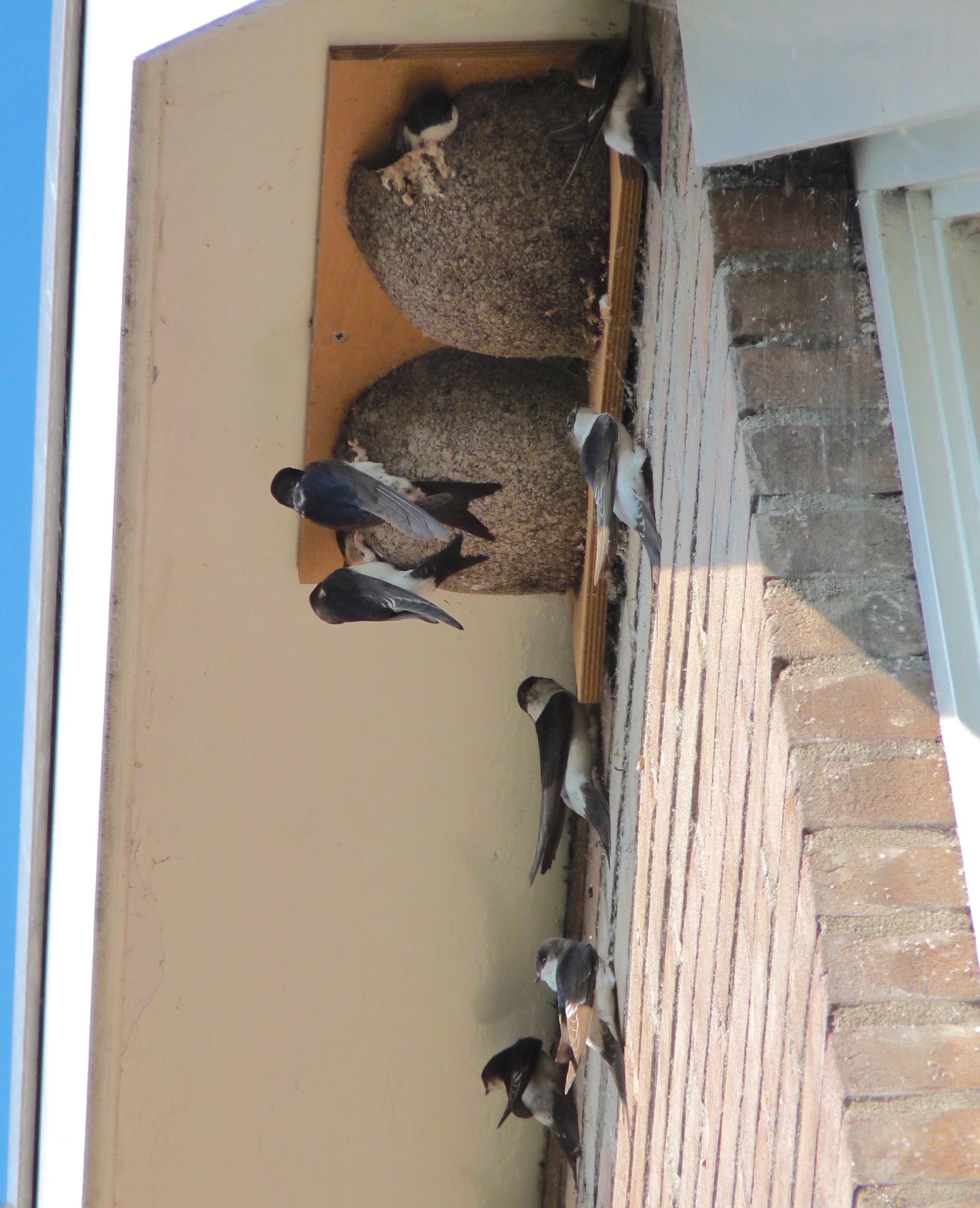 Een nest van de huiszwaluw. (Foto: aangeleverd)