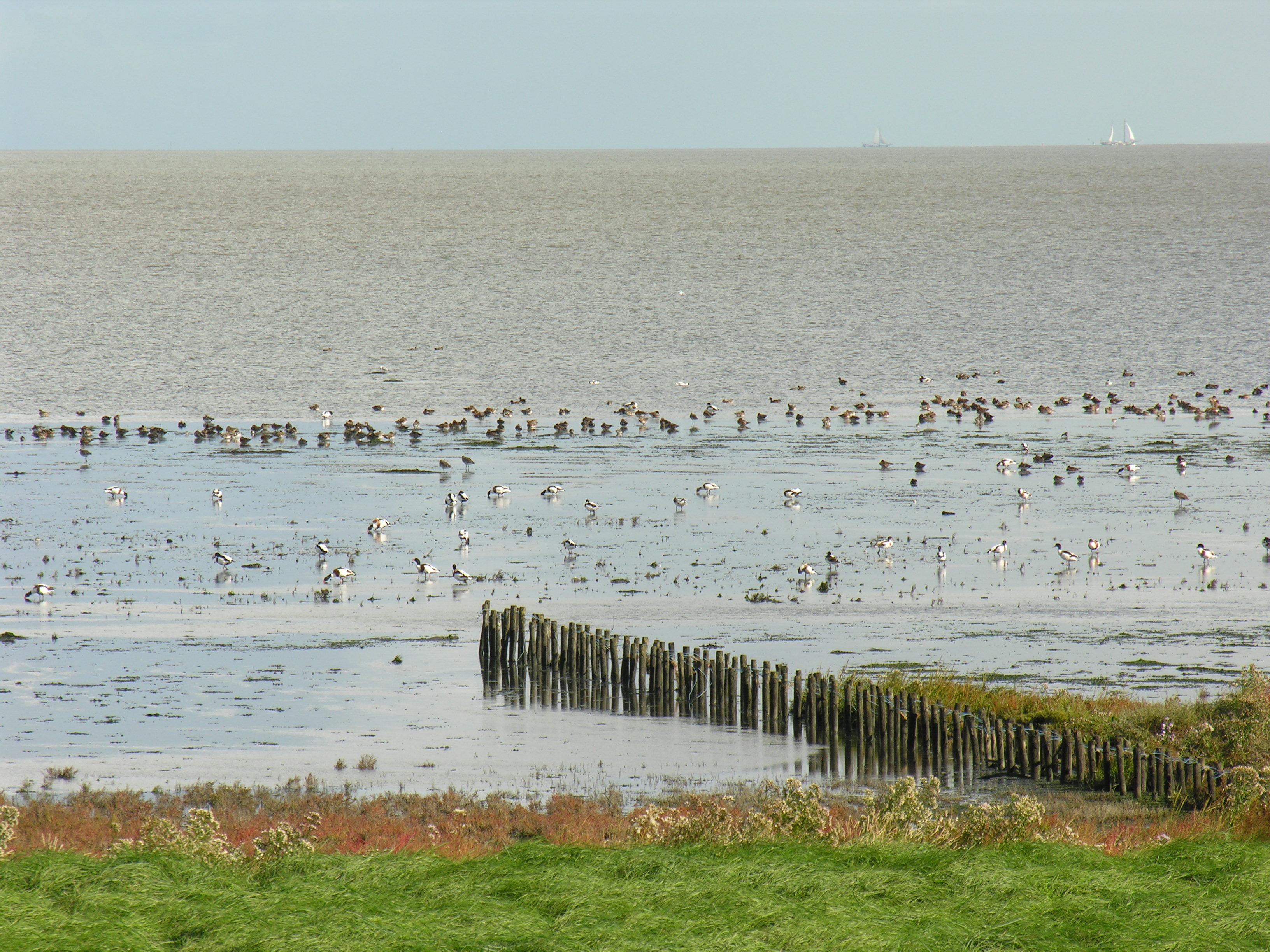 Het Balgzand vormt een ideale broedplaats voor diverse vogels. (Foto: Jan Zijp)