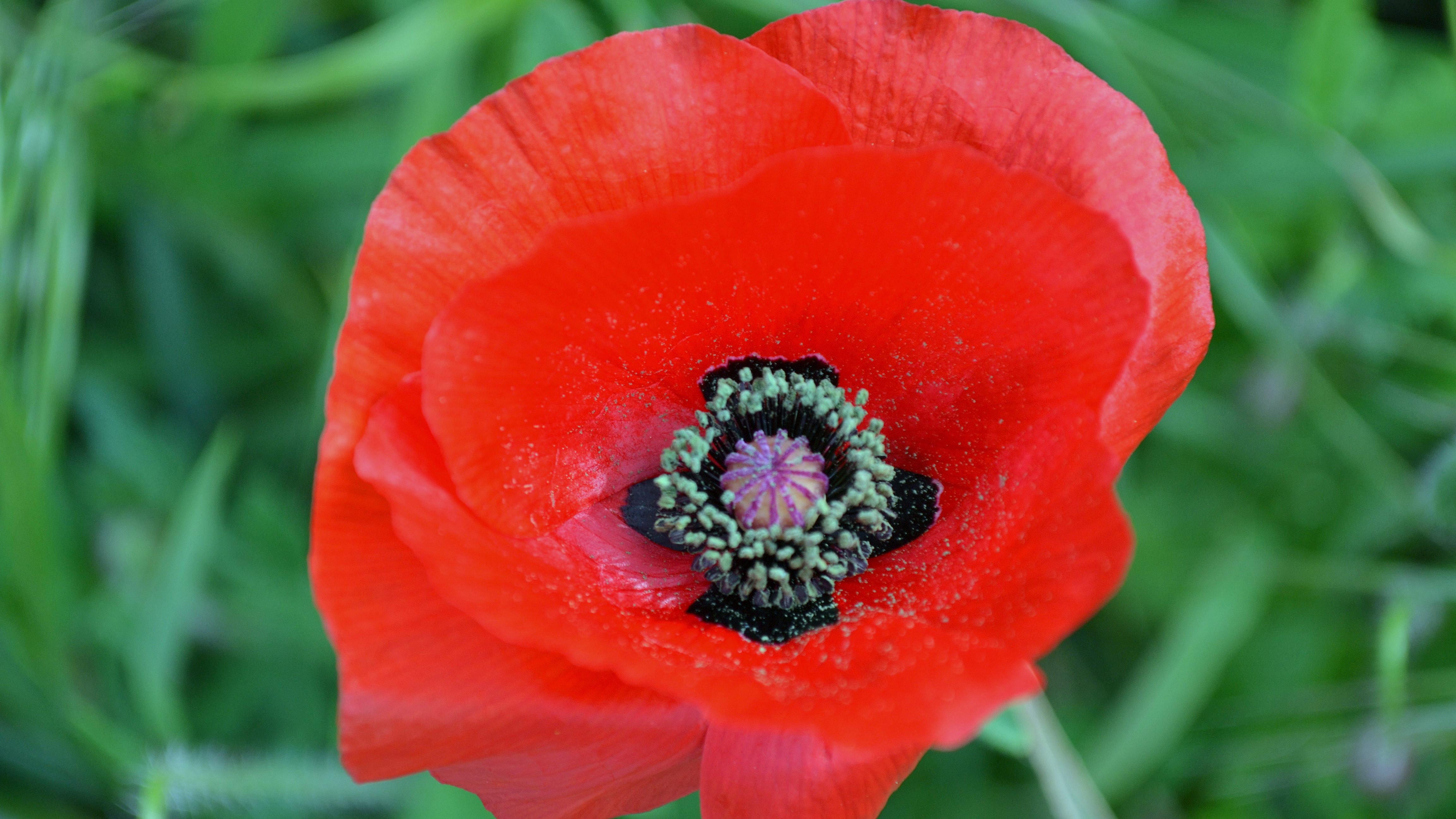 De klaprozen komen er ook weer aan, de prachtige rode bloemen in het duin (Foto: Sjef Kenniphaas).