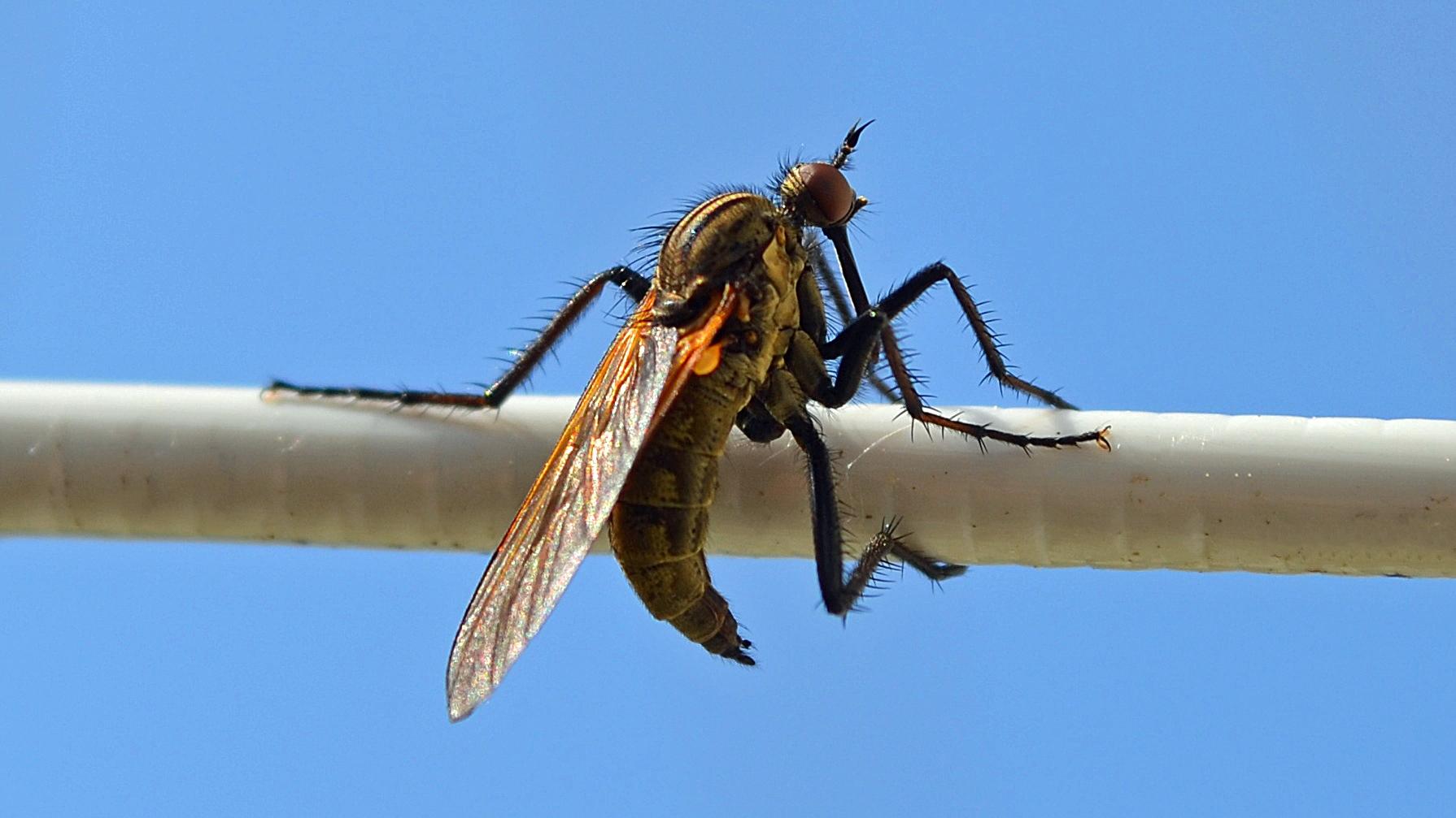 Een heel klein raar vliegje op de waslijn in de zon (Foto: Sjef Kenniphaas).