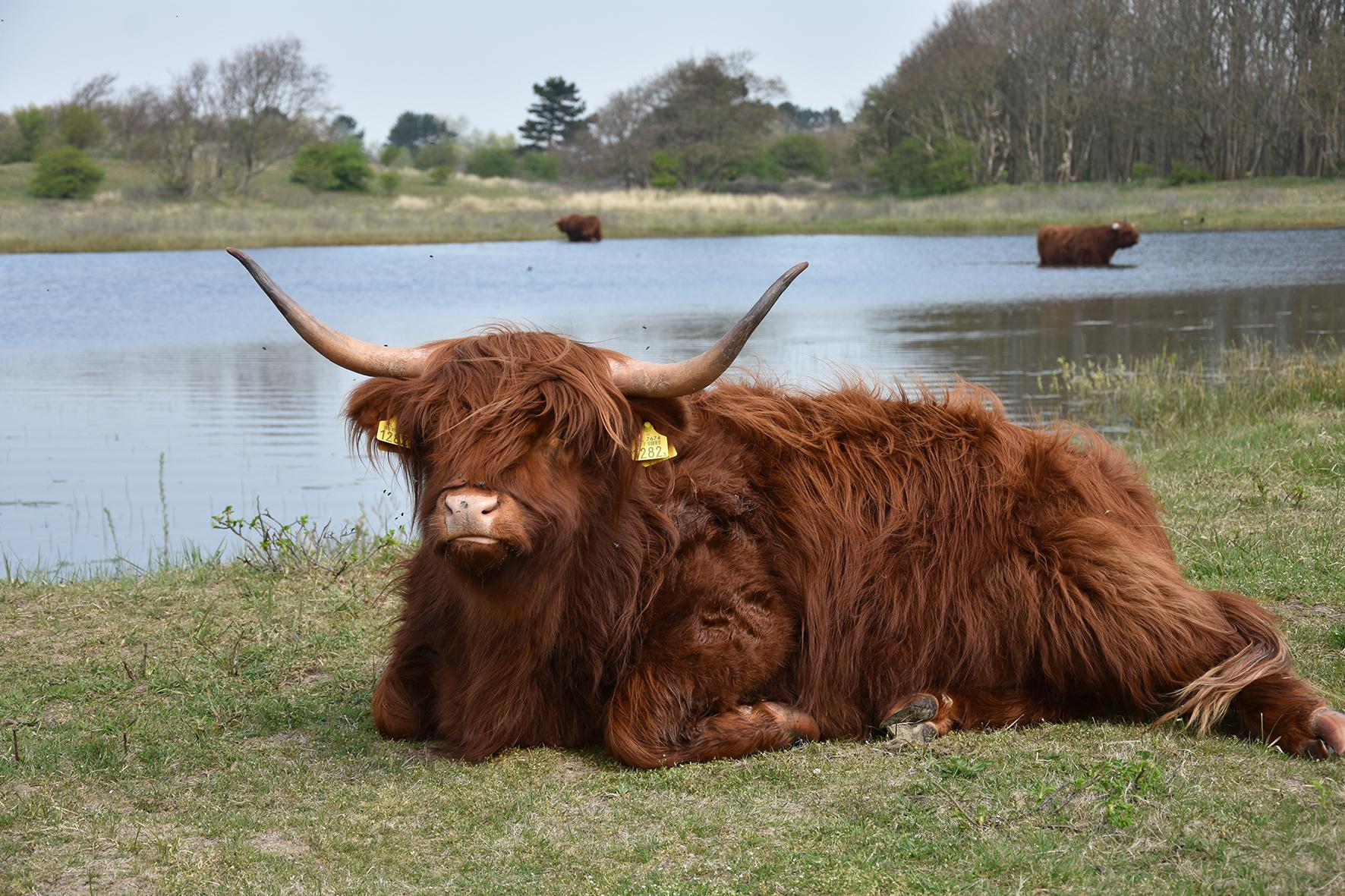 (Foto: Keat Kho: Schotse Hooglanders op de Westert (Liobapoel).