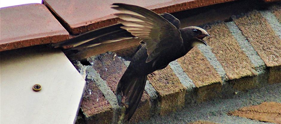 De gierzwaluw. (Foto: gemeente Amsterdam)