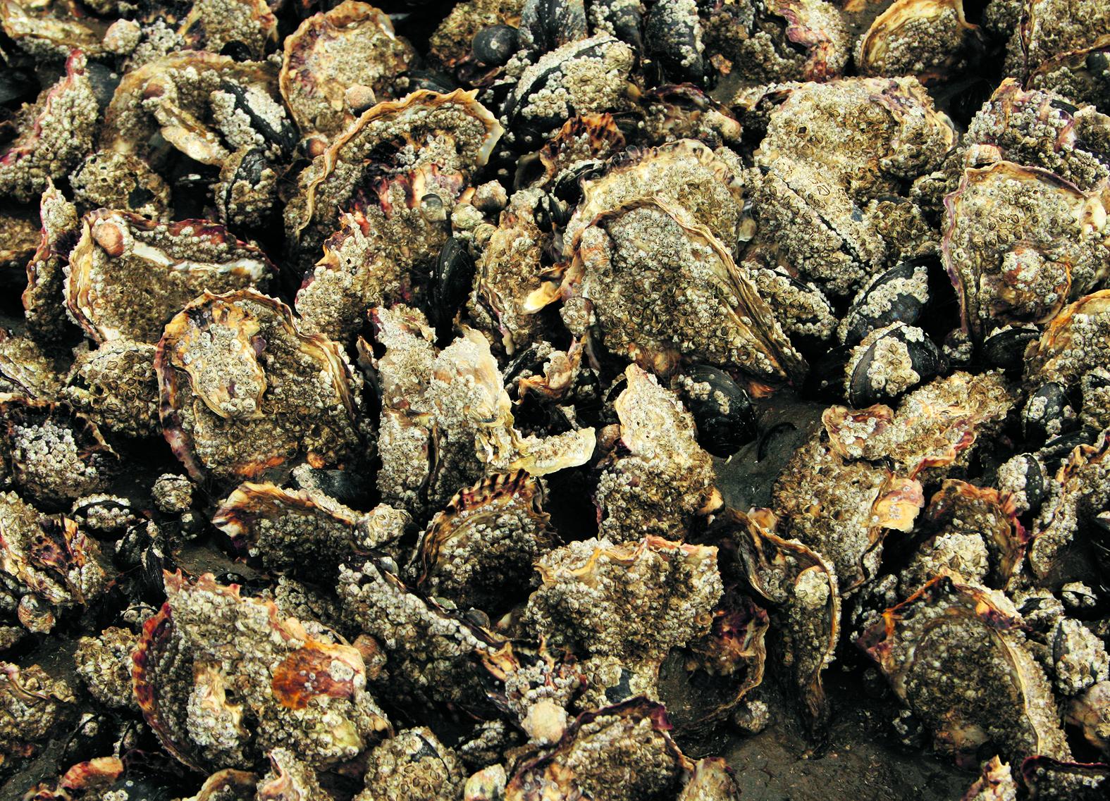 Japanse oesters met zeepokken. (Foto: Jaap Booij)