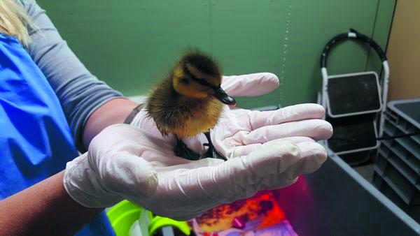 De Dierenbescherming in actie bij de verzorging van een pulletje. (Foto: De Dierenbescherming)