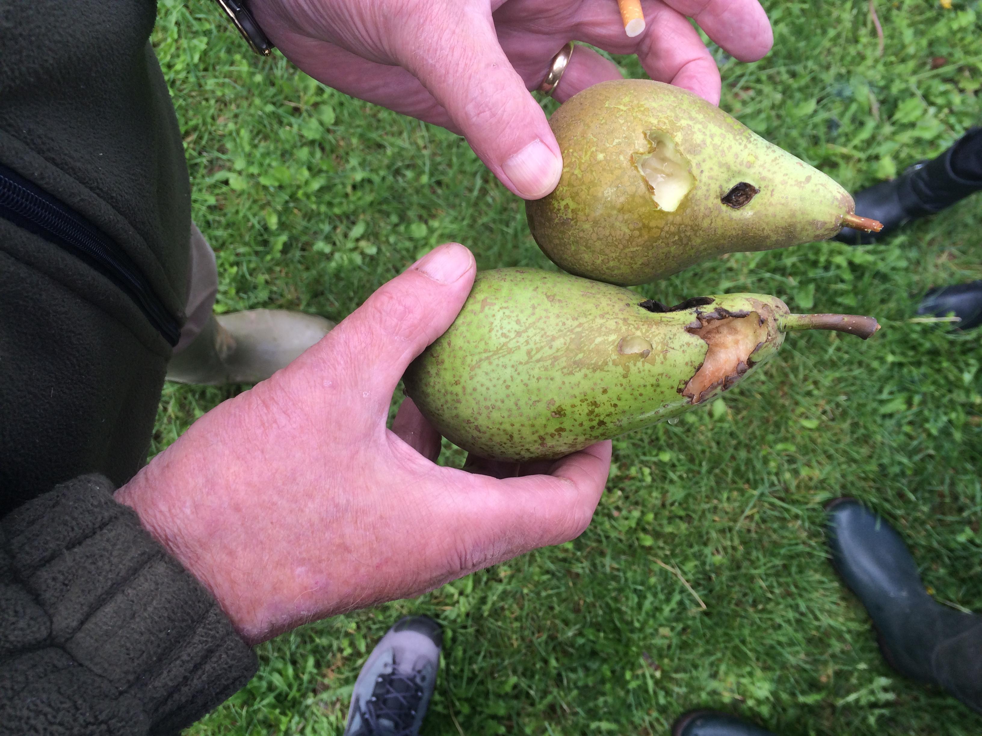 Fruitschade door vogels wordt voor 60% vergoed. (Foto: aangeleverd)