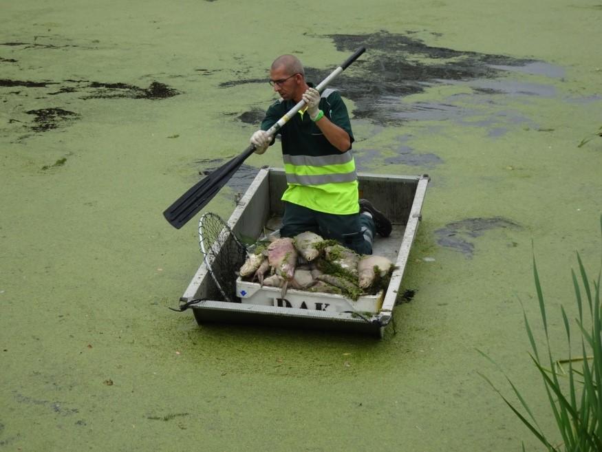 Vrijwilligers van Dierenambulance Kennemerland hebben geassisteerd bij het verwijderen van de dode vissen uit de Neksloot. (Foto: Aangeleverd)