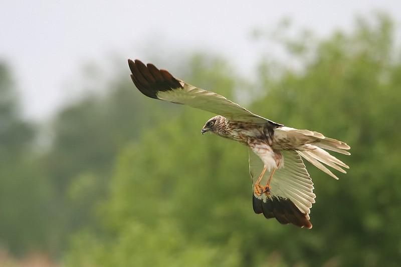 Wie aan de vaarexcursie Roofvogels meedoet, ziet misschien wel een bruine kiekendief. (Foto: Larry Kef)
