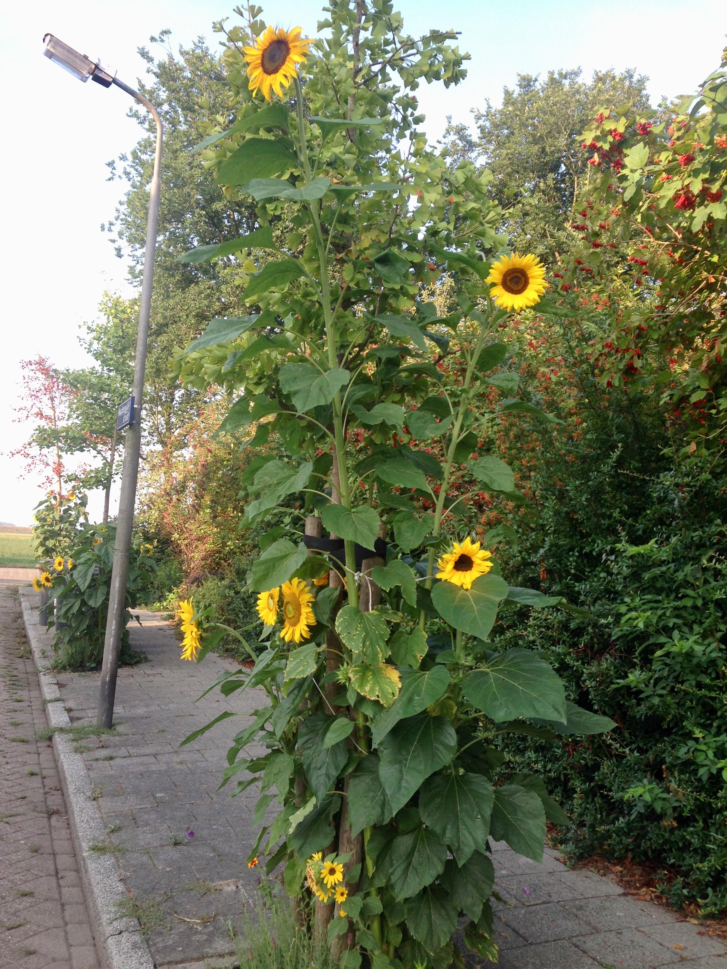 De zonnebloemen zijn naar explosieve hoogtes gegroeid. (Foto: Daniella Ernsting)