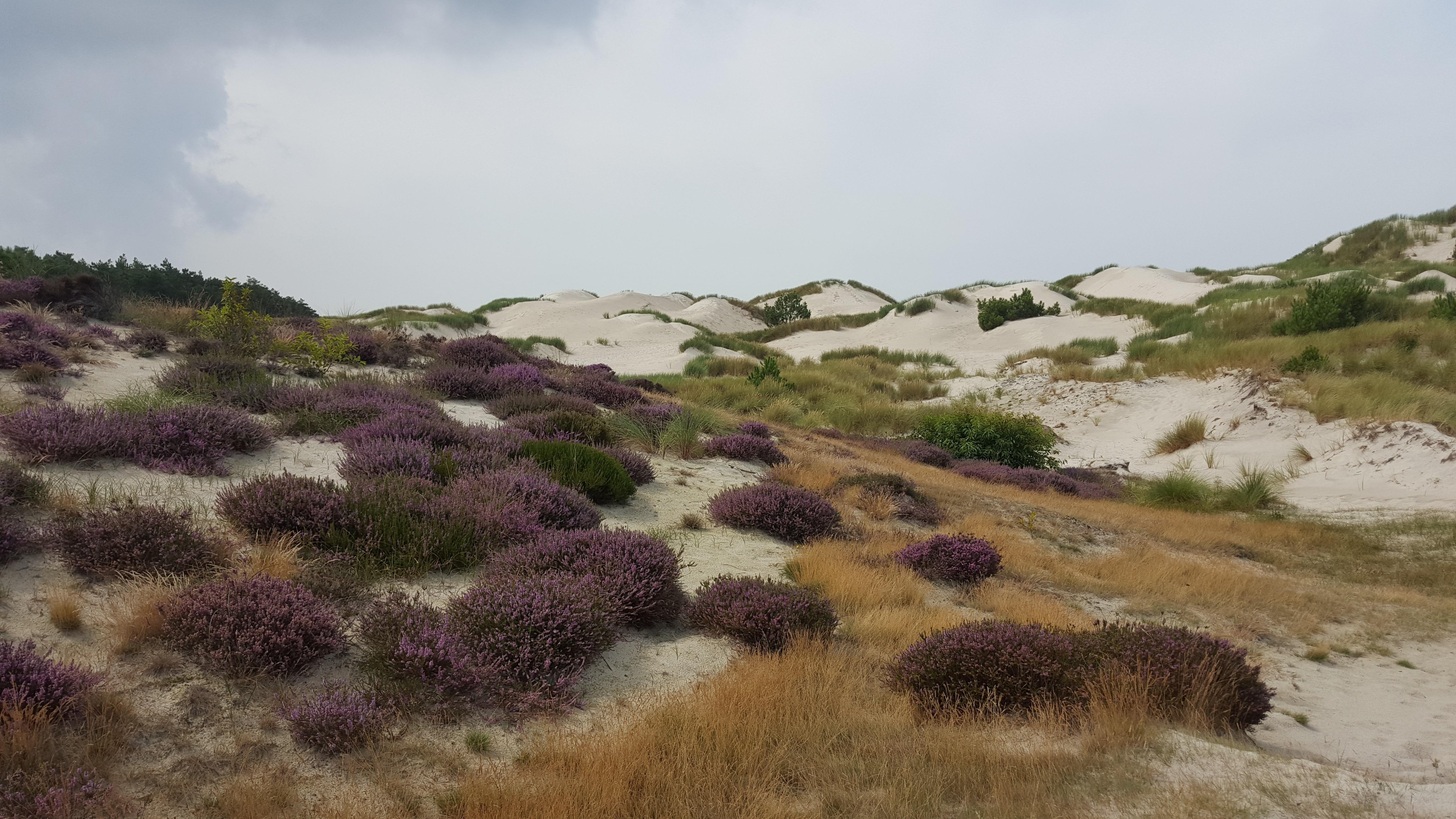 Werkzaamheden bestaan uit het verwijderen van bomen zodat er meer open duinen ontstaan en het op plekken weghalen van de bovenste bodemlaag zodat de heide zich kan 'verjongen'. (Foto: aangeleverd)