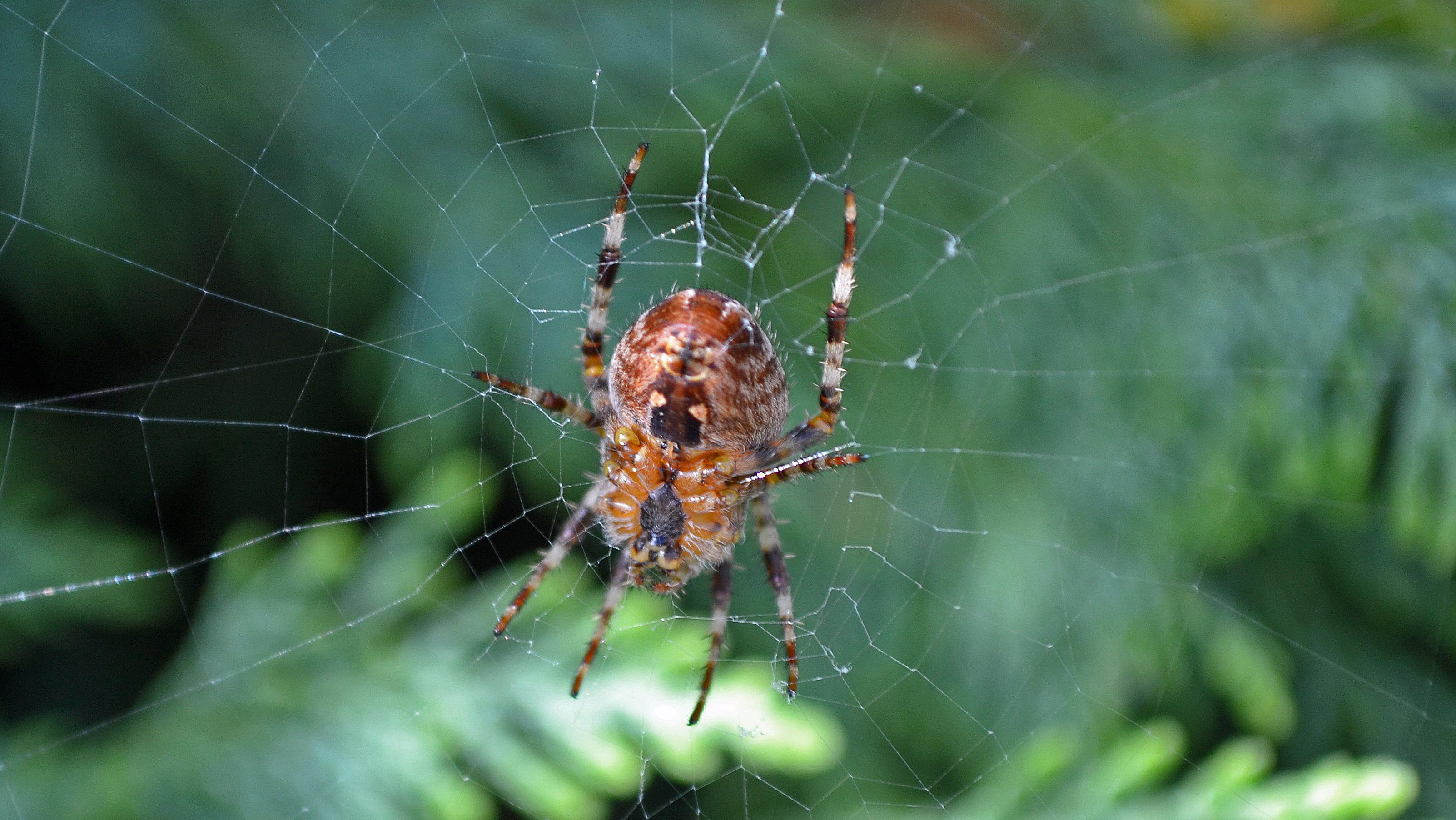 Veel spinnen in de tuin (Foto: Sjef Kenniphaas).