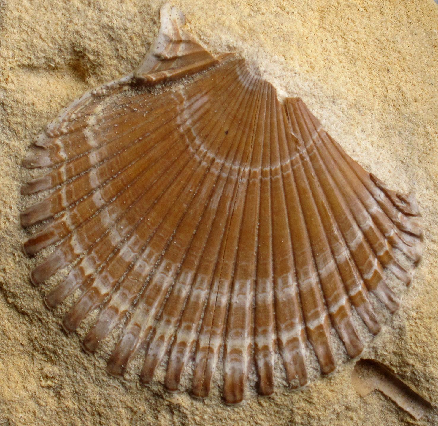 Gefossileerde schelp in mergel. (Foto: Tom Kisjes)
