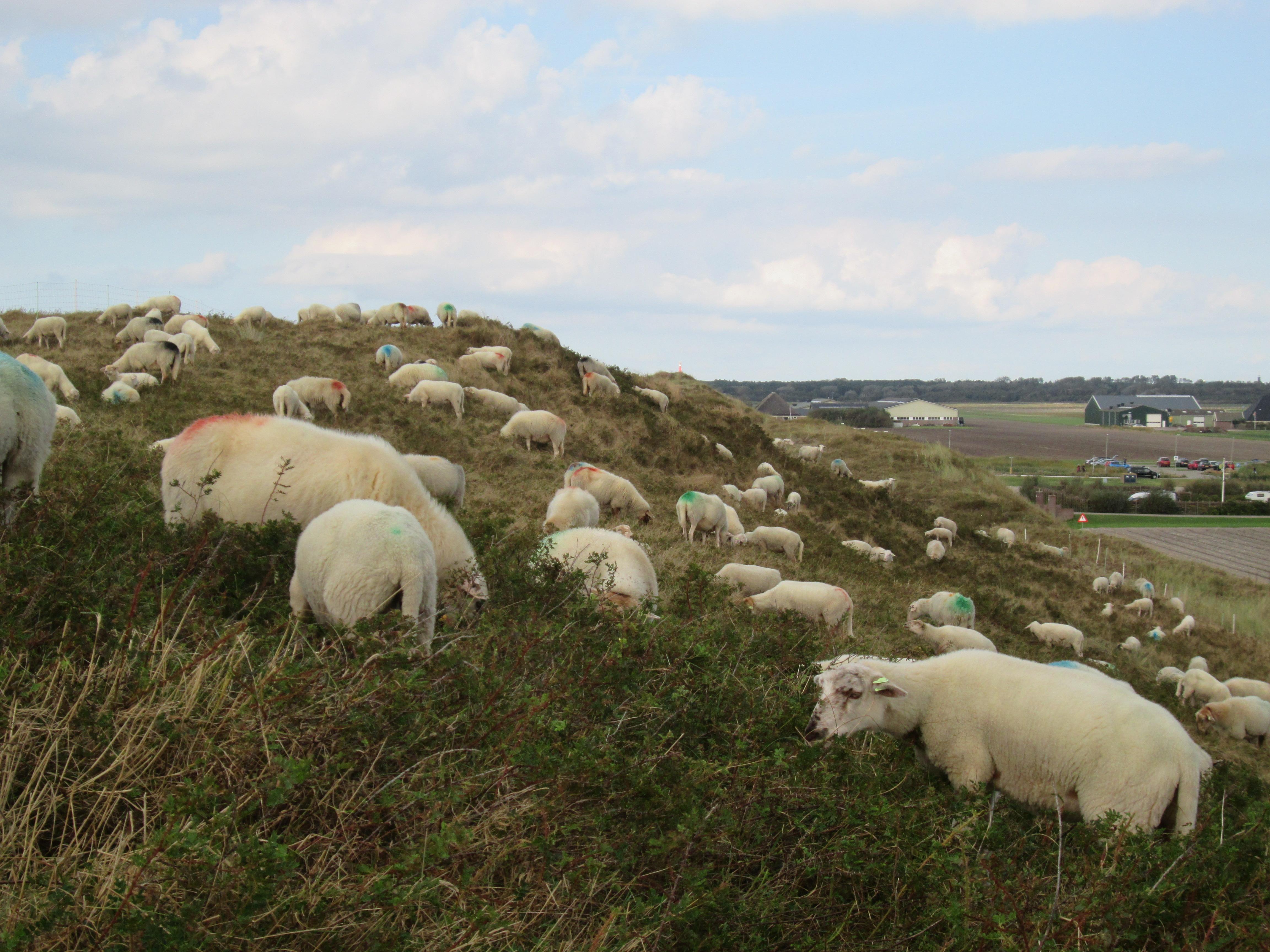 Schapen begrazen de Noordduinen. (Foto: Landschap Noord-Holland)