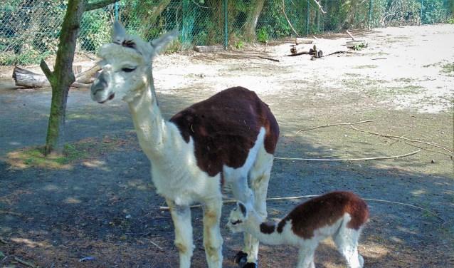 Alpaca merrie met veulen. Het jong op deze foto leeft gelukkig nog. (Foto: Cora de Boed)