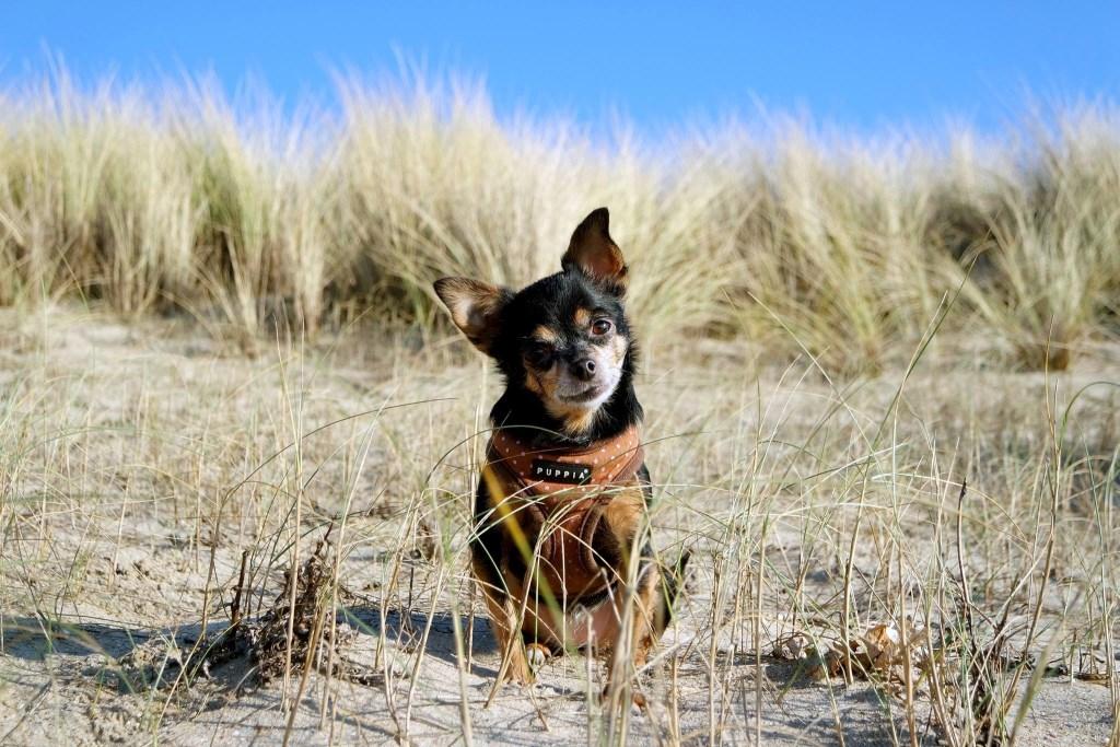 Zoë, lekker op het strand met haar baasjes  © GrootHellevoet.nl