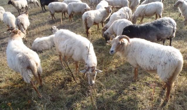 De komende weken trekt de kudde samen met herder de slikken op