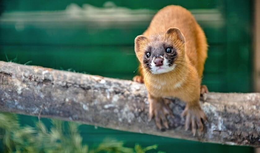 De Kolonok, in het Nederlands Vuurwezel genoemd, is lichtbruin op de rug en verandert  in een bleker, geelachtig bruin tot onder de buik.