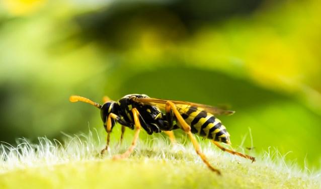 De wespen laten zich deze maand gelden.