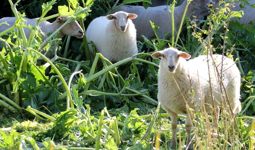 Deze schapen beschouwen de berenklauw als een lekkernij!