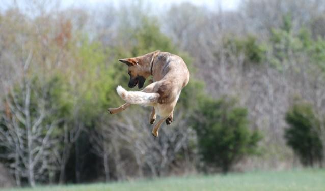 hond-honden