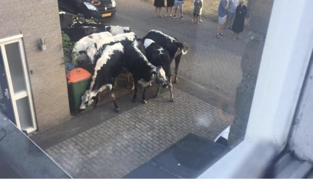 Dan staan er zomaar ineens koeien op je oprit.