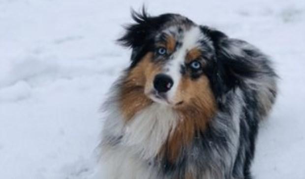 Hond Ice