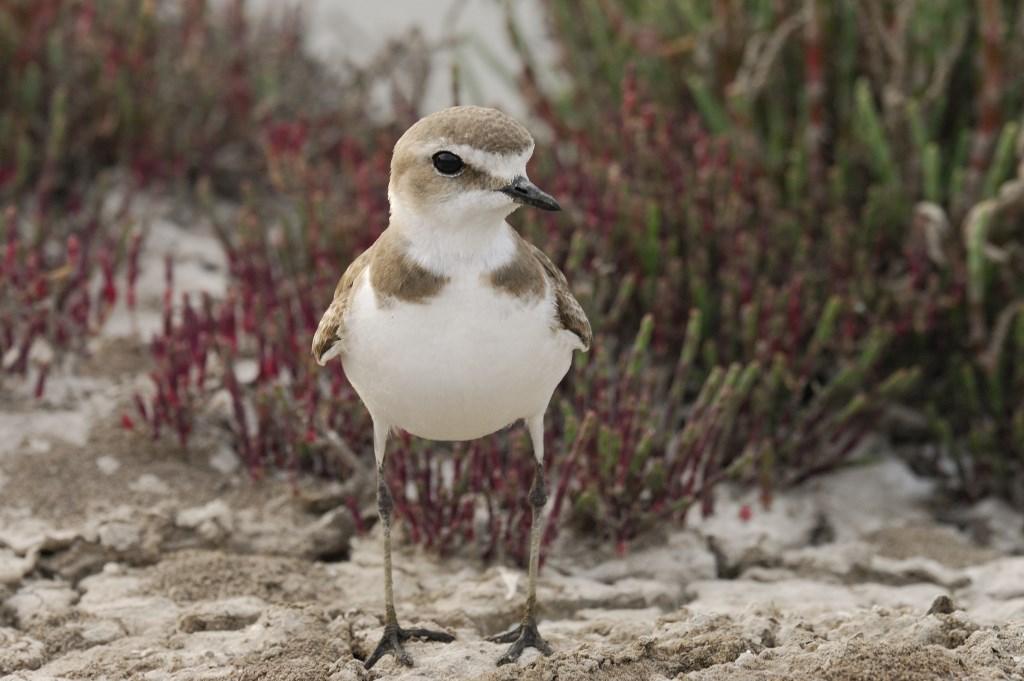 De strandplevier kan wel wat hulp gebruiken bij het beschermen van zijn eieren. Foto: Jelle de Jong © Internetbode