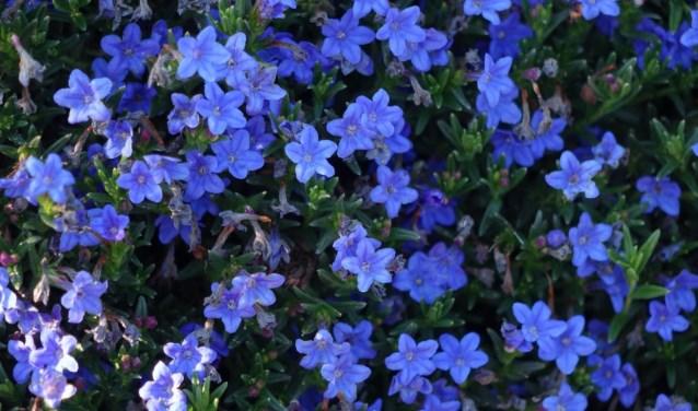 blauwe-bloemen-large