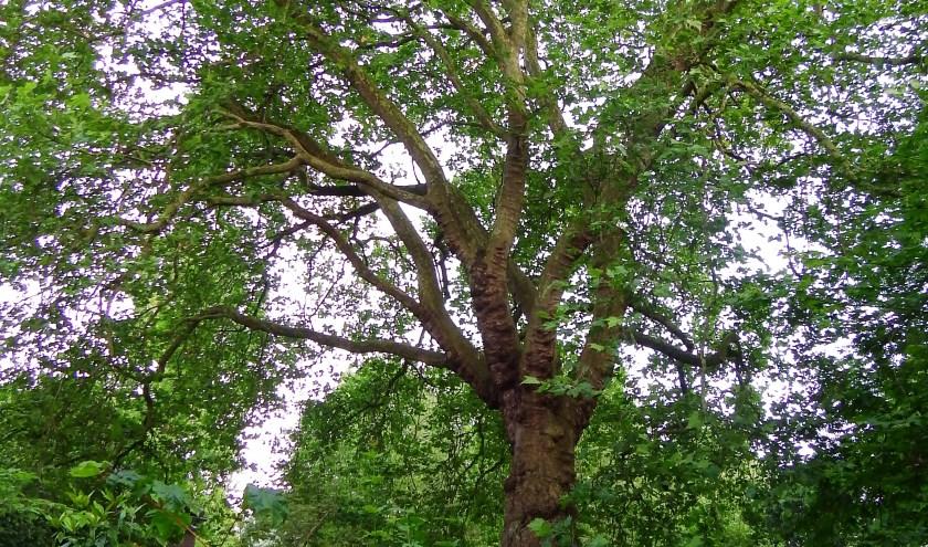 De Witte Paardenkastanje met giftige vruchten en een van de bomen uit de brochure 'Beter met Planten'.