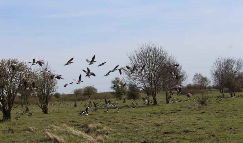 Het aantal overzomerende ganzen bij Dintelse Gorzen worden geteld vanaf het water door WBE Steenbergen