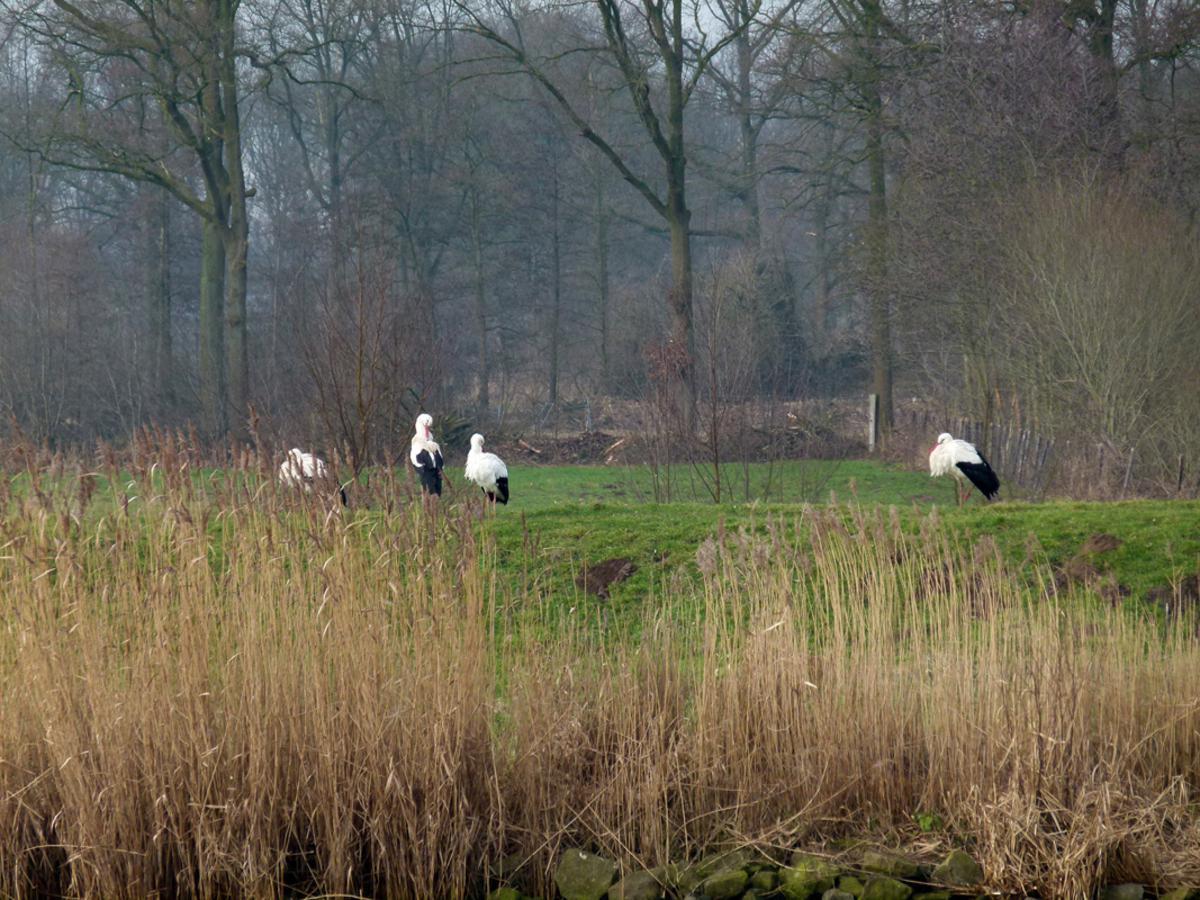 Ooievaars aan de oever van de Mark, ter hoogte van de Achter Emer aan de rand van de Haagse Beemden.
