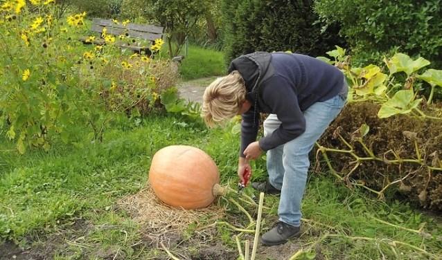 Jeroen de Bruijn van Jumbo Buitenhof oogst een pompoen. (Foto: PR)