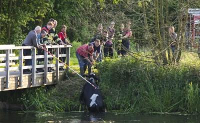 Brandweer redt koeien uit Dommel bij hooibrug