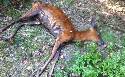 Honden bijten ree dood in natuur