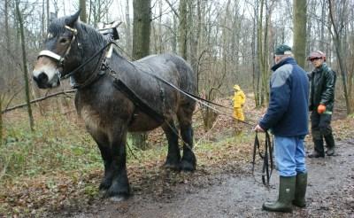 Trekpaard van stal in Liempde