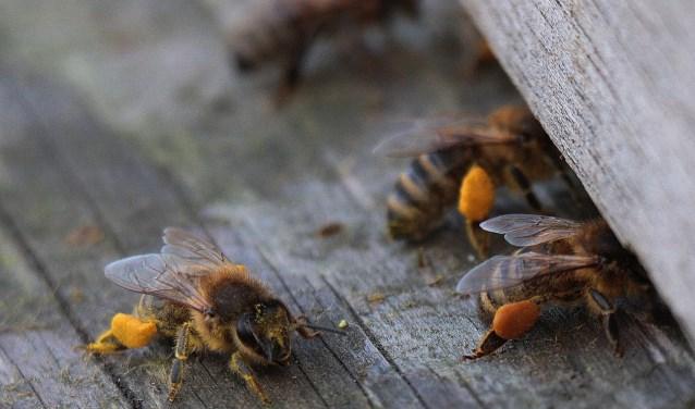 Bijen met stuifmeel aan de poten.