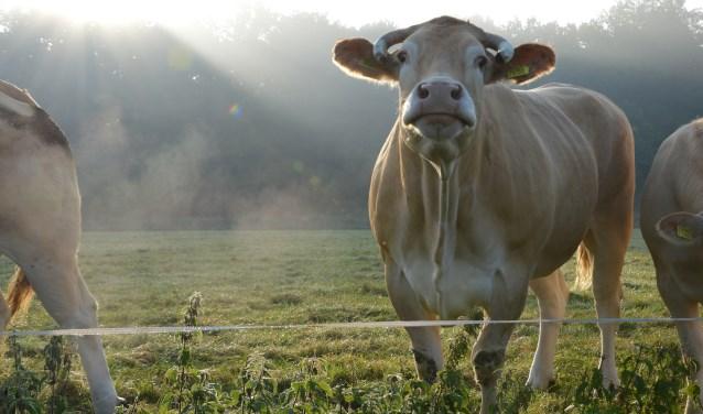 Een koe van De Leentjeshoeve