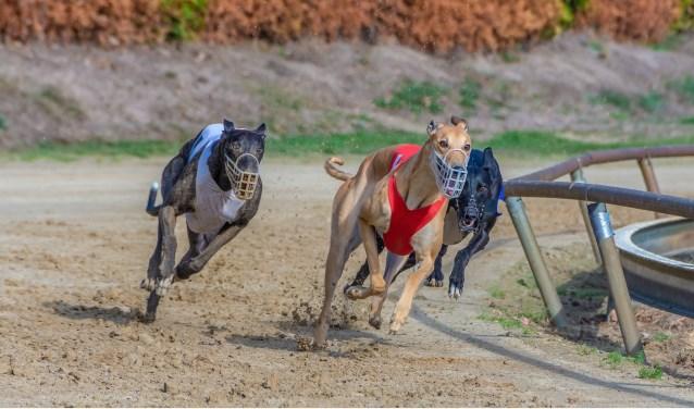 Greyhounds rennen achter de 'kunsthaas' aan   | Fotonummer: a632e4