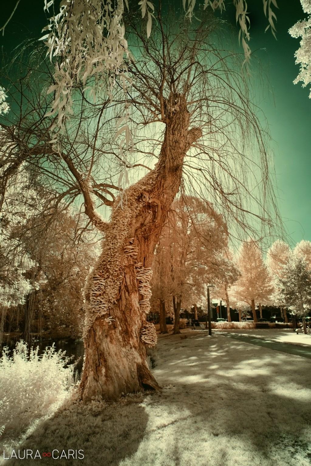 Laura Caris - The Magic Tree  © grenskoerier