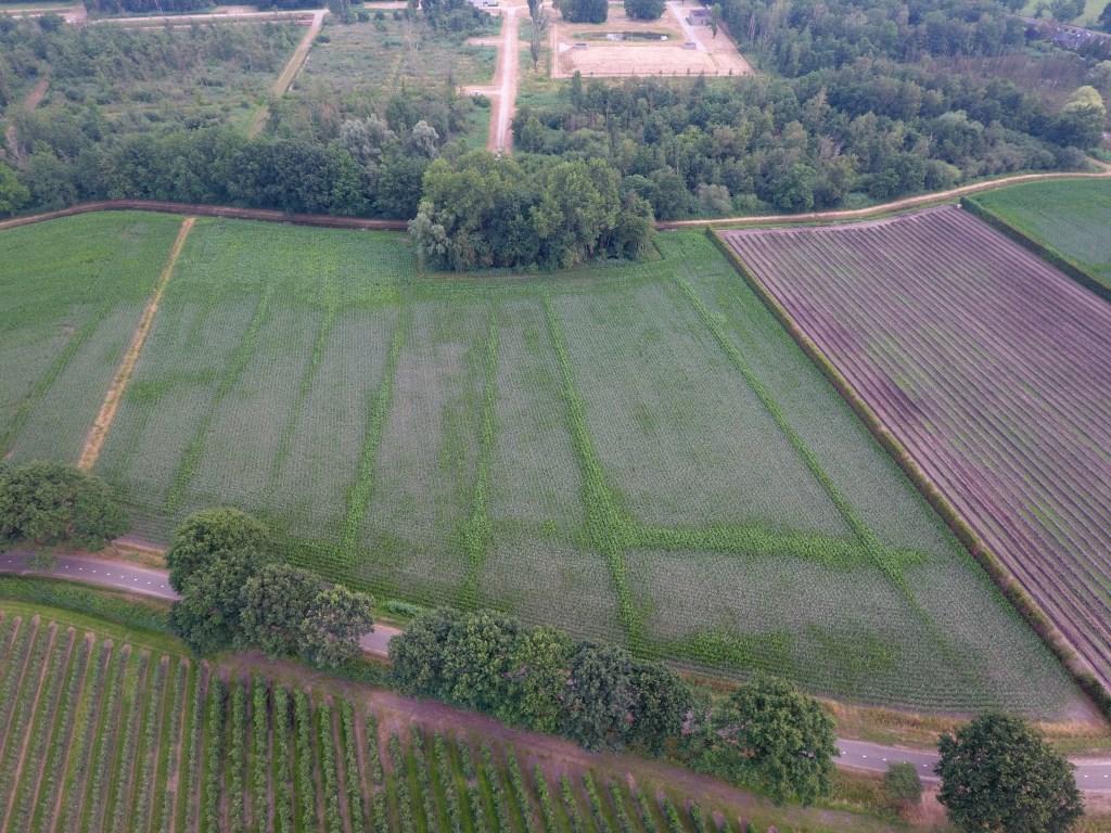 Waar vroeger slootjes lagen, groeit de mais harder, waardoor de historische akkers zichtbaar werden. Foto: Twan van der Heijden.  © grenskoerier