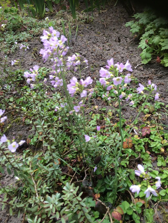 De pinksterbloem is een van de bloemen die je tijdens de wandeling kan zien. Foto: nel meulman © grenskoerier