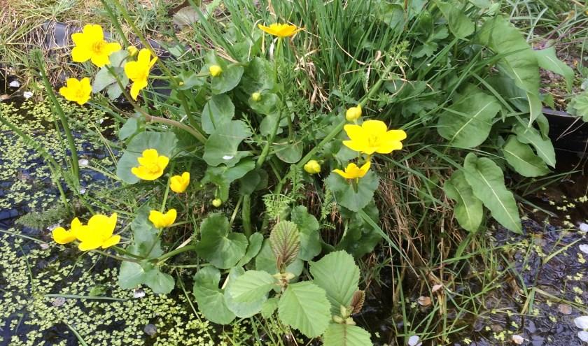 De dotterbloem is een van de bloemen die je tijdens de wandeling kan zien.