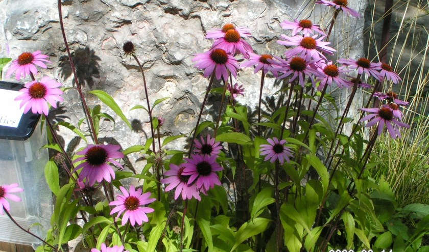 De Echinacea purpurea kan goed tegen hitte.