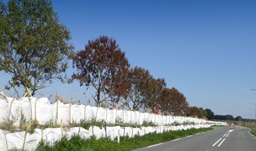 De bomen hebben volgens de gemeente 'geen toekomstbestendige kwaliteit'.